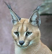 Caracal. Source: Wikipedia
